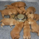 Golden retriever pups first solid feed.