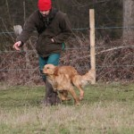 Angus - Golden Retriever Stud Dog