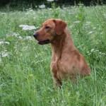 Fox red labrador stud dog.