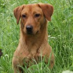 Fox Red Labrador at stud in Nottinghamshire.