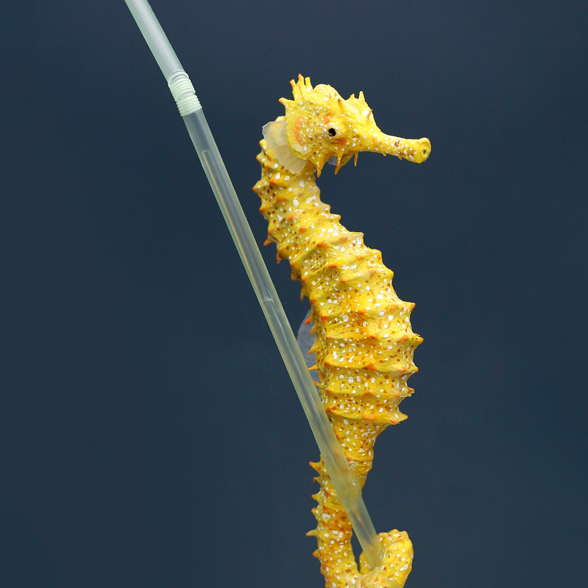 Seahorse holding on to plastic straw