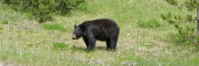 Ein vollkommen entspannter Bär direkt neben der Straße im Jasper Nationalpark
