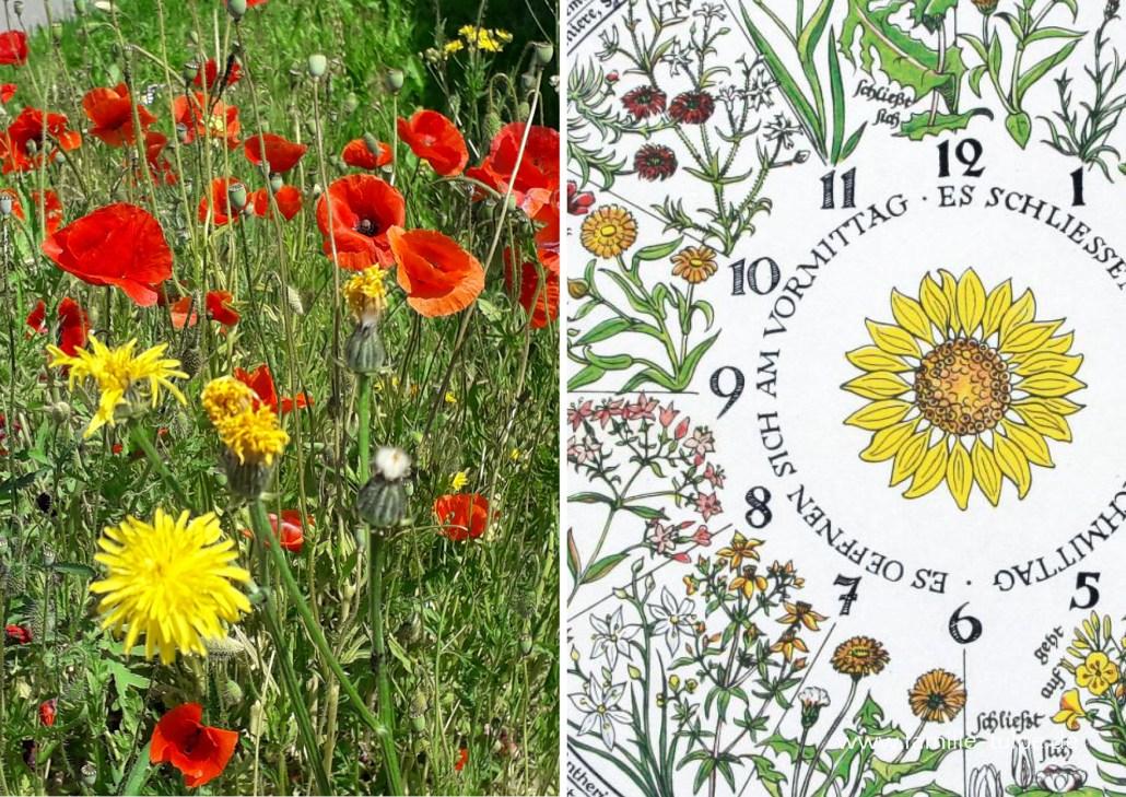 Blumenuhr von Carl von Linné