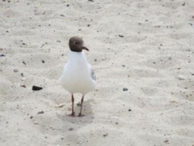 Möwe - am Strand