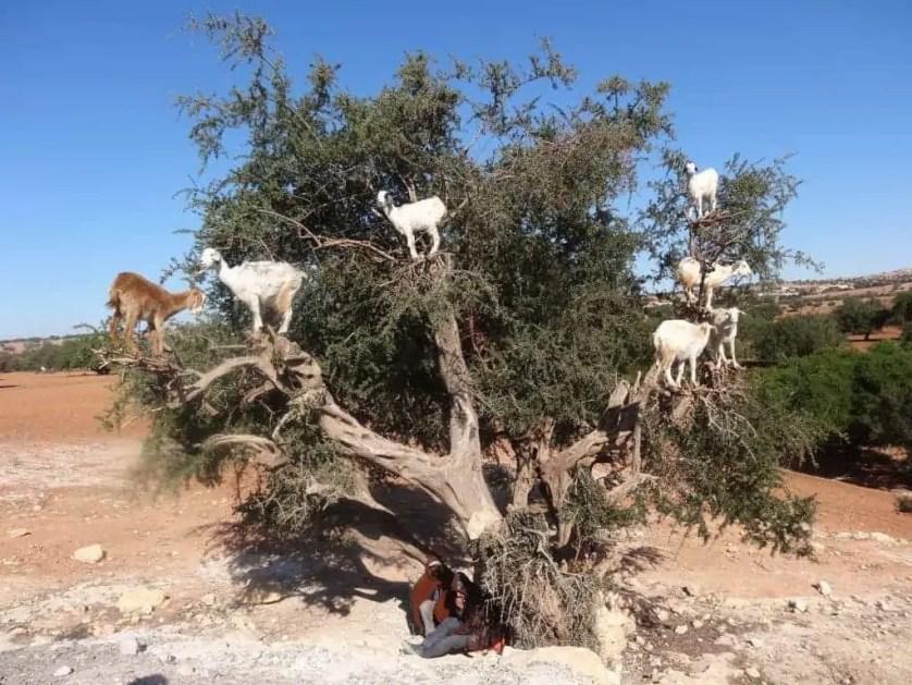 Chèvres dans un arbre à Essaouira