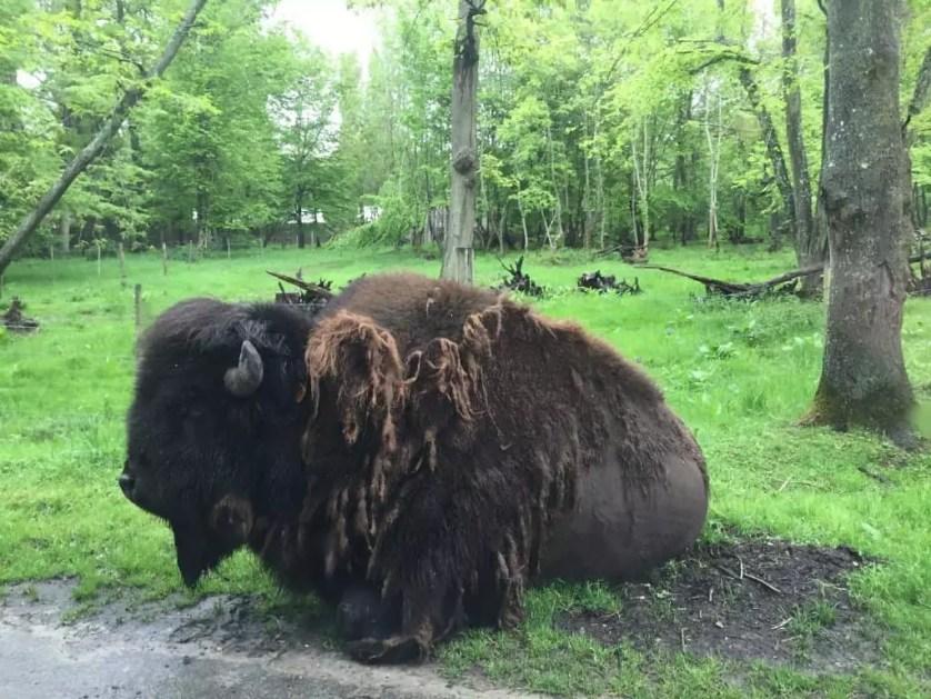 famille-nomade-digitale-Parc-zoologique-de-Thoiry-buffle-au-bord-de-la-route.