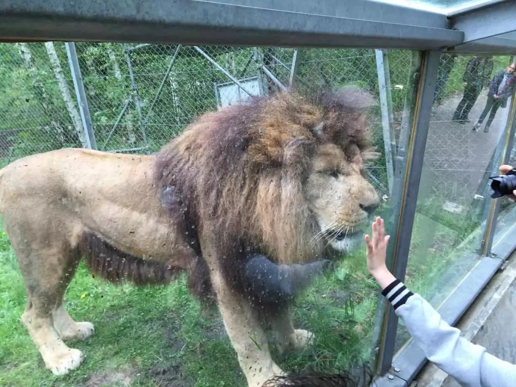 voyage en couple au parc de Thoiry- lion