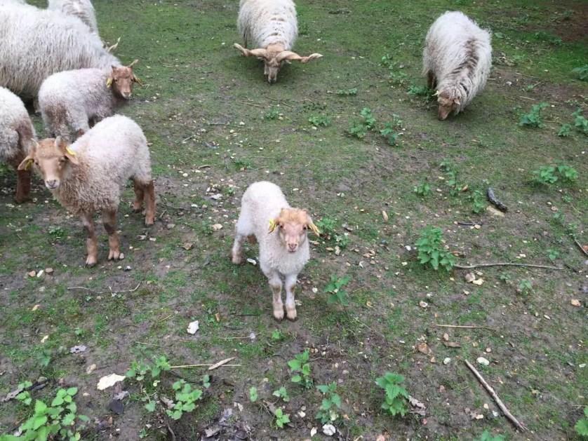 famille nomade digitale-Parc zoologique de Thoiry- mouton