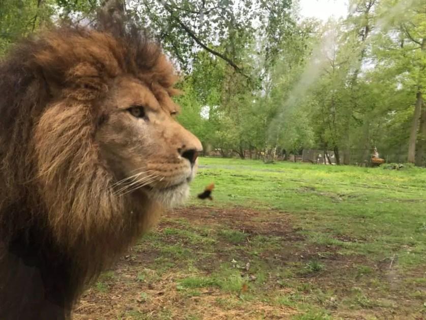 famille nomade digitale-Parc zoologique de Thoiry- portrait de lion