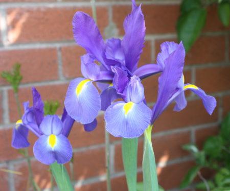 Blue Iris Family Clan Blog
