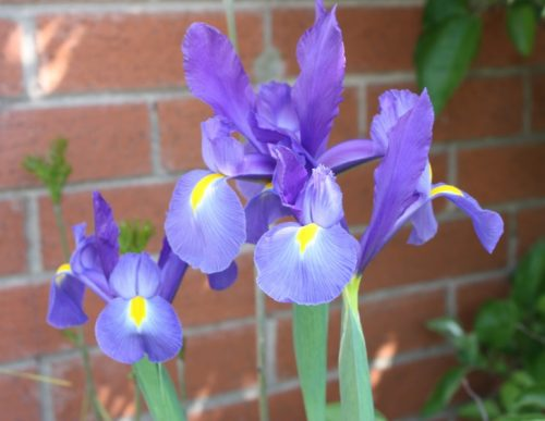 Sunday Snap 28th May 2017 Dutch Iris