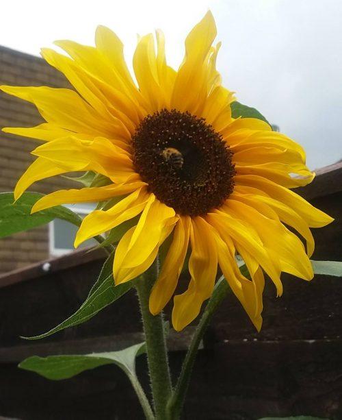 Sunday Snap 3rd September 2017 Sunflower Bees Family Clan