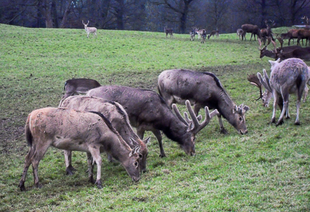 Margam Park Deer Herd