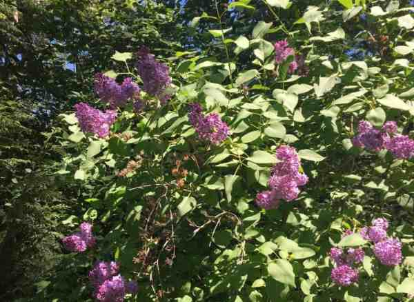 plant lilac hedge family