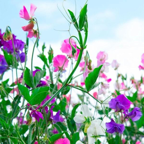 aromatherapy garden plants