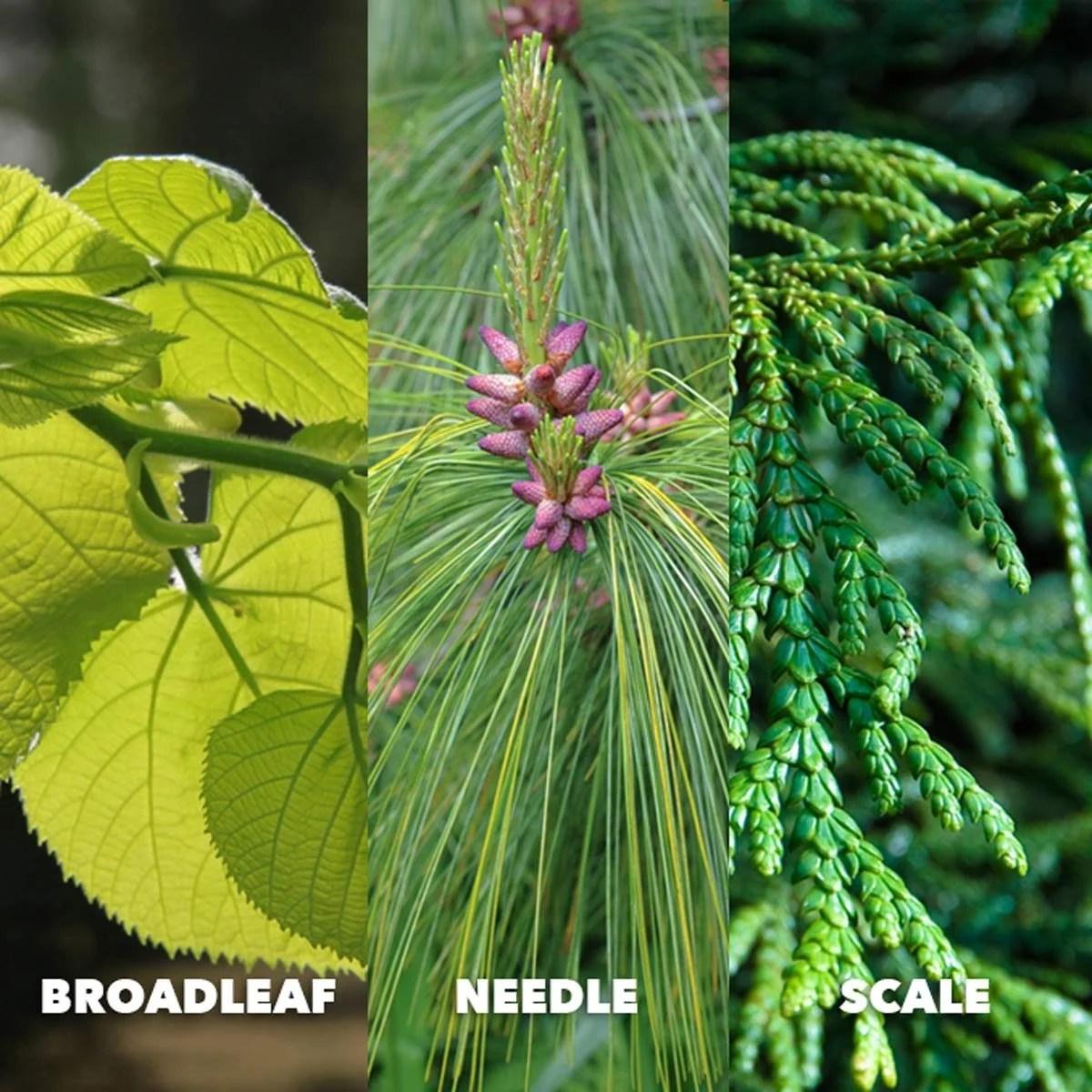 broadleaf needle scale