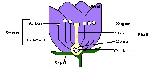 parts of a flower diagram federal signal pa300 wiring anatomy