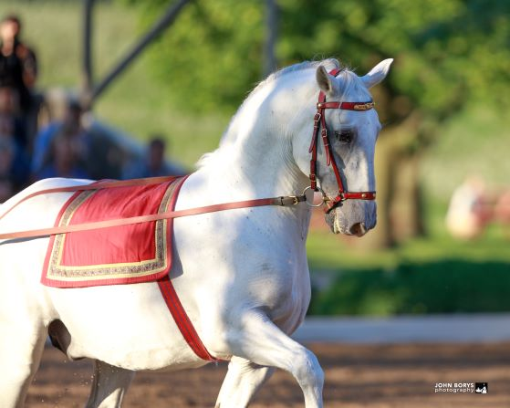 How  a Lipizzan stallion learns to dance. PLUS Baby Lipizzans!