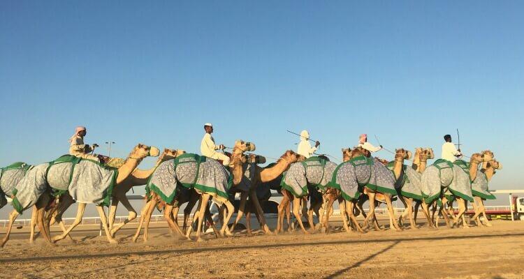 Al Dhafra Festival 2016 camel training