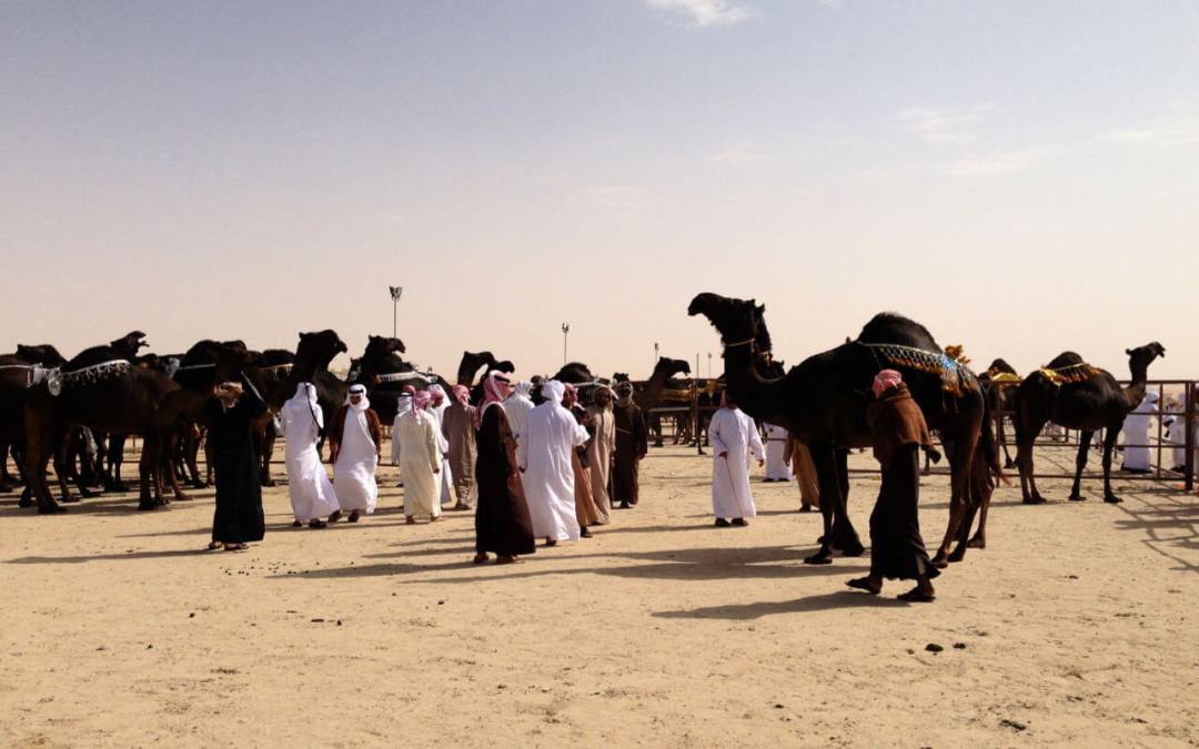 Camel Beuaty pageant judging Al Dhafra Festival UAE