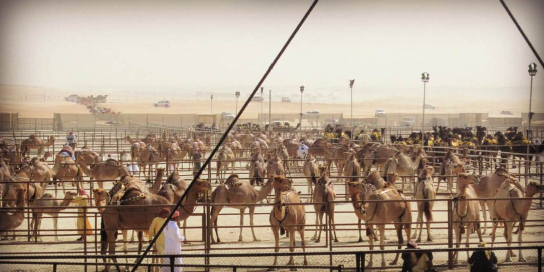 Camels waiting to be judged at the camel mazayna - camel beauty contest in Abu Dhabi
