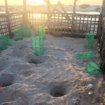 Turtle hatching near Ghantoot