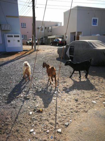Donkeys on the street in Sur