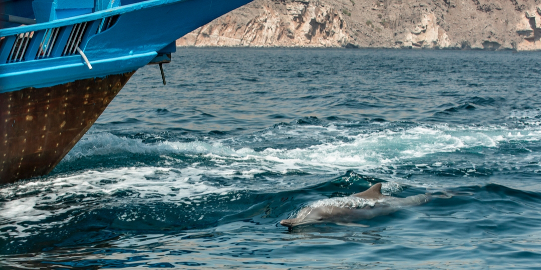 a dolphin in Kumzar Musnadam boat tour