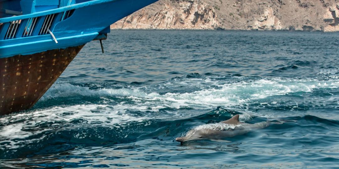 a dolphin in Kumzar Musnadam boat tour