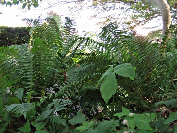 """""""yew dell fern garden"""""""