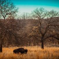 Buffalo grazing at the Woolaroc wildlife refuge.