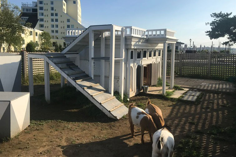 Resident goats at Gurney's Newport Resort; Courtesy of Family Vacation Critic