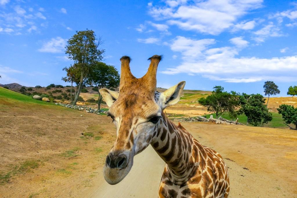 giraffe san diego zoo; Courtesy of Melanie Faulstick/Shutterstock
