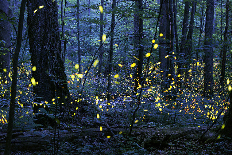 Synchronous Fireflies in Great Smoky Mountains; Courtesy NPS