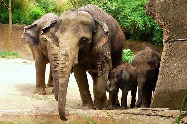 Elephants at the Saint Louis Zoo in Missouri.