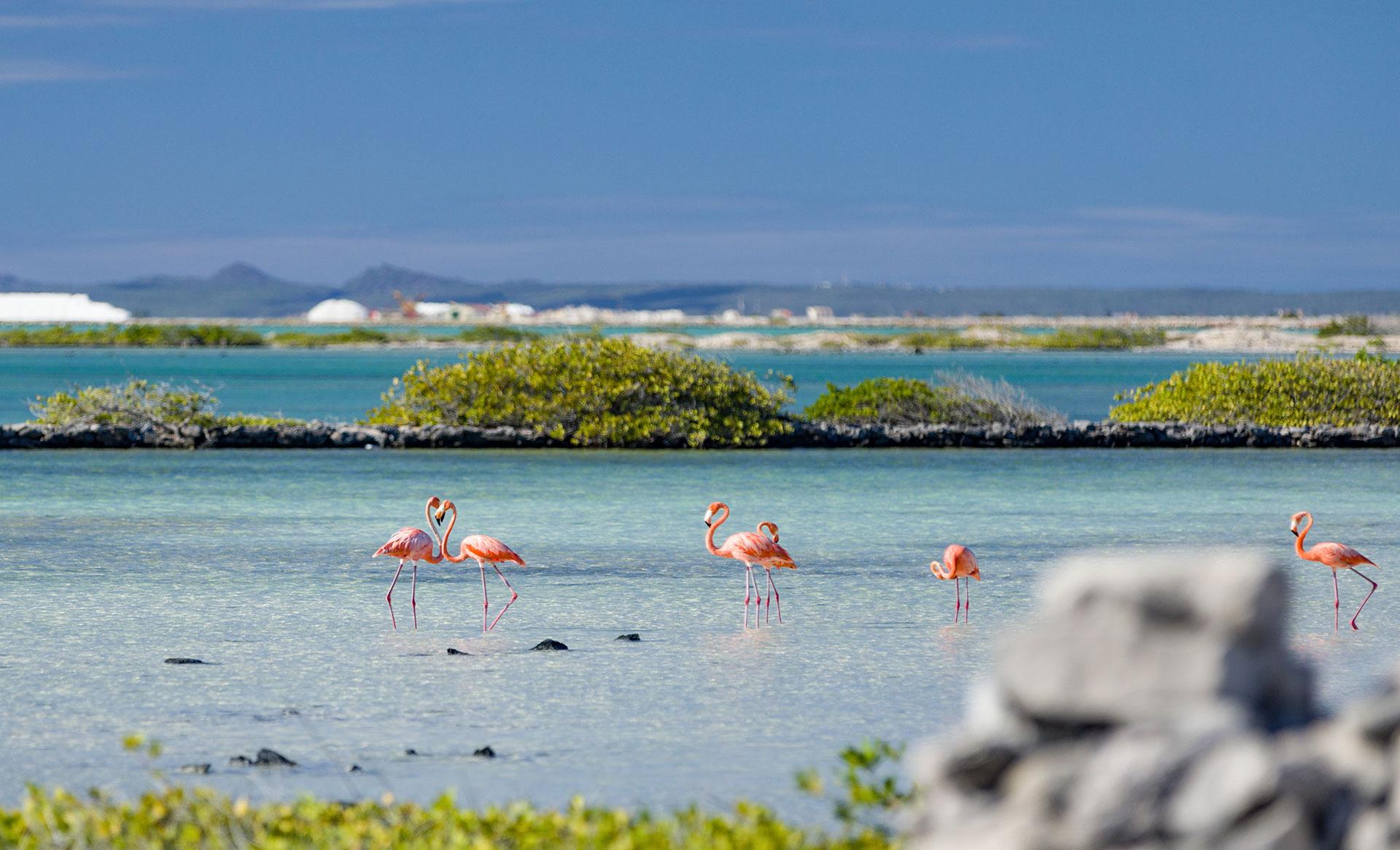 Pink flamingoes in Bonaire