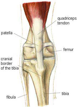 patellar luxation: what you should know about this knee