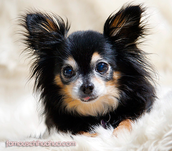 Cute Chihuahua Puppies and Chihuahua Dog Clothes