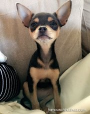 chihuahua dog breed facts &