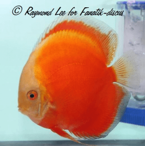 Discus solid red Singapour 2010