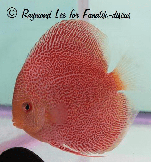Jeune discus red spotted snakeskin