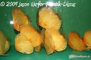 Discus albinos Wayne ng