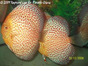 Discus leopard de Raymond Lee