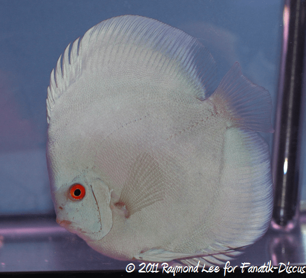 Discus 1st categorie Blue/Green Singapour