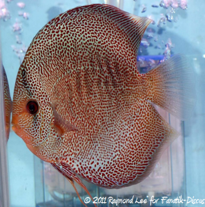 Discus 3rd categorie Red Spotted snakeskin Singapour