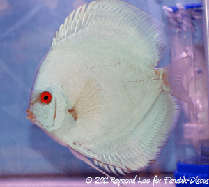 Discus 2nd categorie Blue/Green Singapour