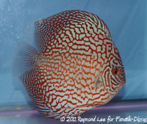 Discus 3rd categorie Turquoise Pattern / Stripes Singapour