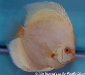 Discus 3rd categorie solid albinos Singapour
