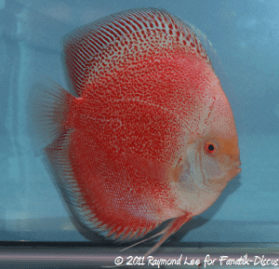 Discus 2nd categorie Open Pattern / Striped / Spotted Singapour 2011