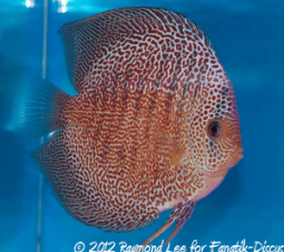 Discus red spotted snakeskin 2nd Malaysian discus show 2012